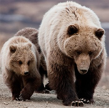 Grand Teton Grizzly Bears