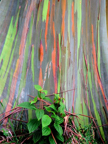 Rainbow Eucalyptus on the road to Hana